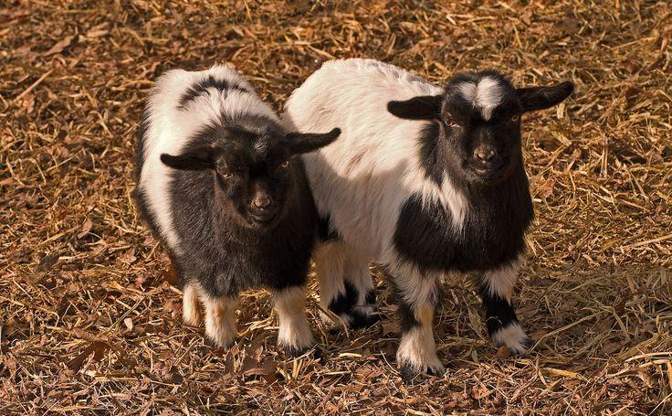 Can You Eat Fainting Goats? - http://modernfarmer.com/2014/07/can-eat-fainting-goats/?utm_source=PN&utm_medium=Pinterest&utm_campaign=SNAP%2Bfrom%2BModern+Farmer