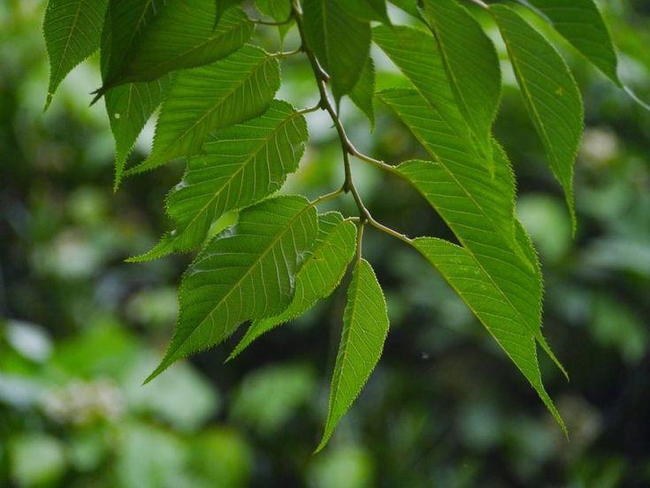 Roste vám na zahradě třešeň? Mimo plodů skliďte i listy