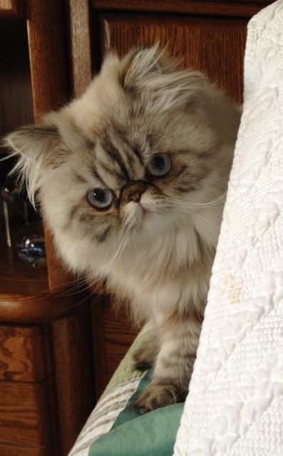 25 Best Ideas About Himalayan Cat On Pinterest Pretty