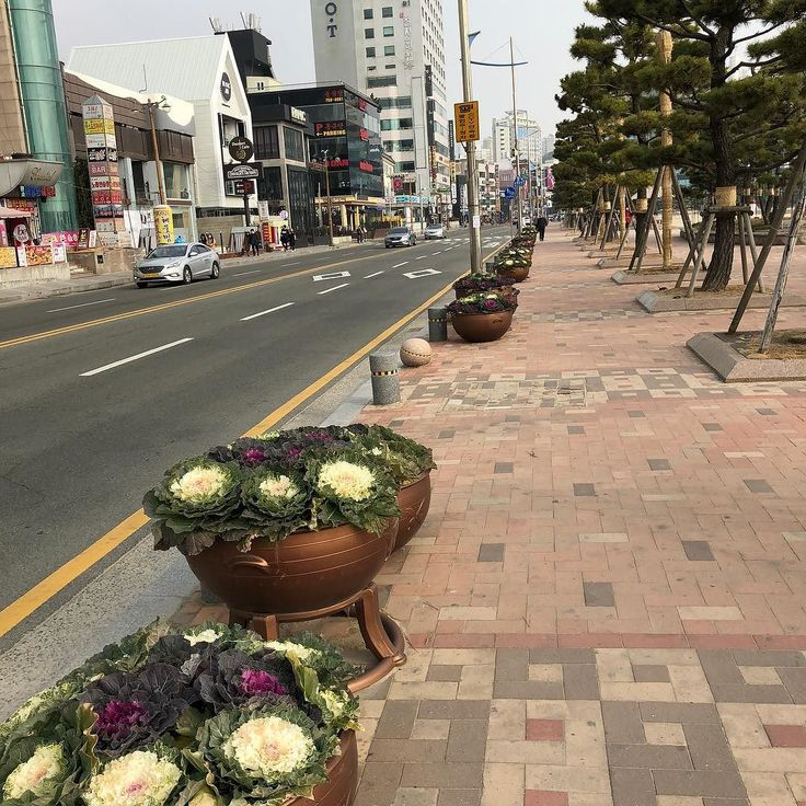 Flowerpots in the street ... Filled with cabbage of different colors. #busan