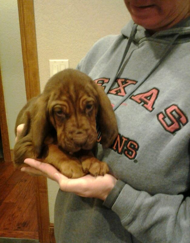 Basset puppy. Love the color!