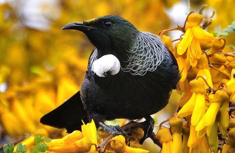 nature new zealand tui - Google Search