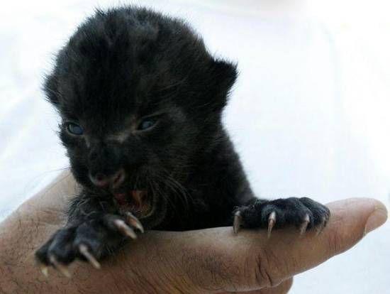black panther | Cucciolo di pantera nera