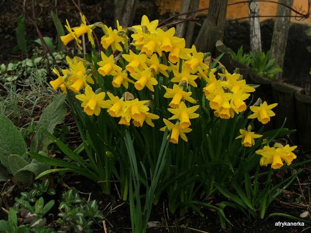 Narcyz (Narcissus) Tete-a-Tete