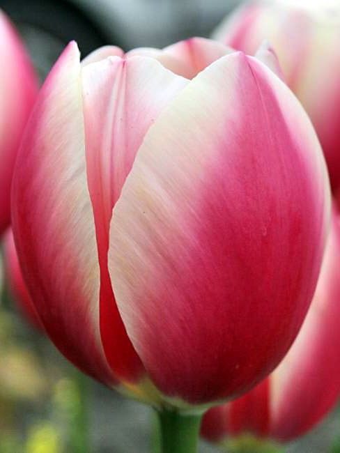 how to grow tulips from seeds
