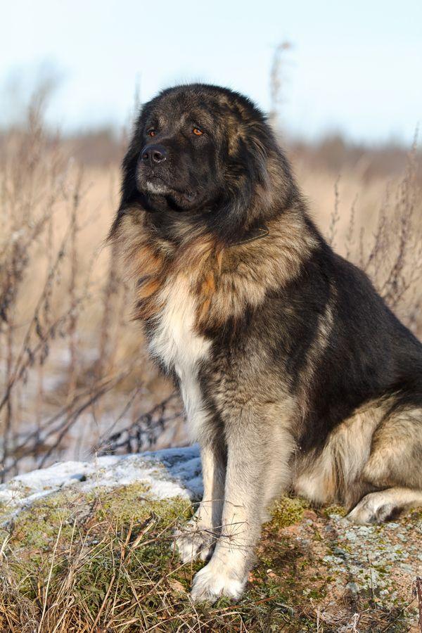 "500px / Photo ""Caucasian Shepherd dog"" by Nika Petrova"