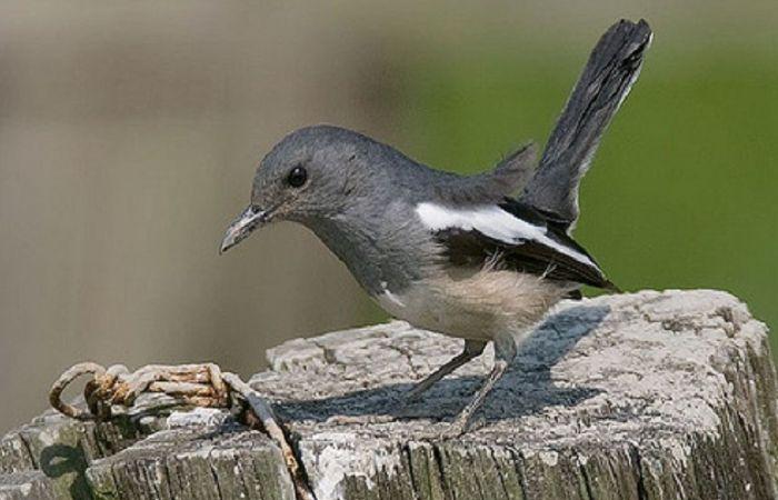 Download Suara Burung Kacer Betina Mp3 Dan Manfaatnya Di 2021 Burung Gambar Burung Hewan