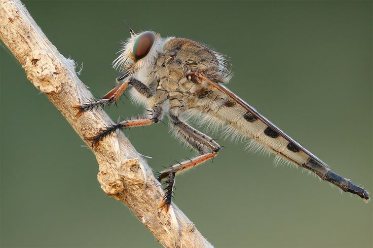 Photo Robberfly by Macrolife  on 500px