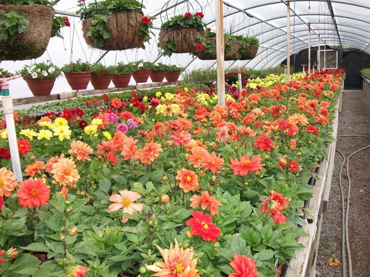 We have everyone's favorites such as Geraniums, Marigolds, and many more.