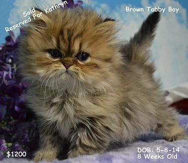 Persian Kittens For Sale, Silver Persian Kittens For Sale,  EigenauersPersian.Com