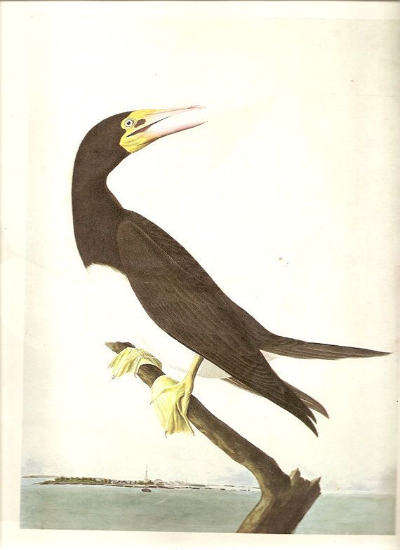 10 Old 1966 Water Color Painting John James Audubon For Birds Of