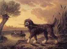 Као Де Аква, Португальская водяная собака (Water dog), Филипп Рейнегл