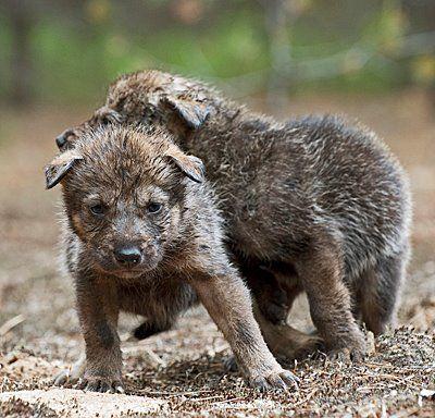 3 weeks old wolves.