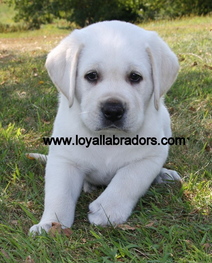 Little 8 week old white Labrador puppy playing in the grass.  He's snow white but still a yellow Lab.