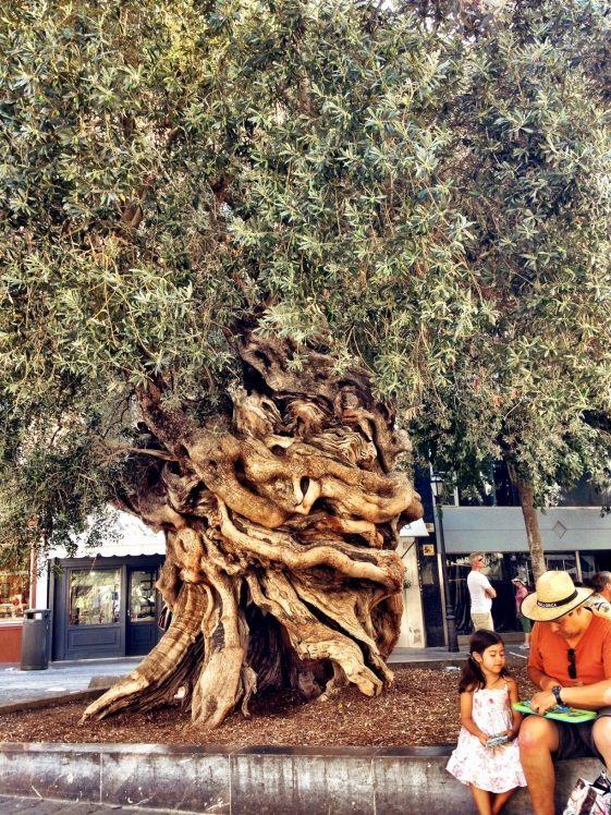 Centennial olive tree outside City Hall of Palma de #Mallorca