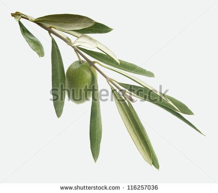 Green branch with leaves and one olive on the gray