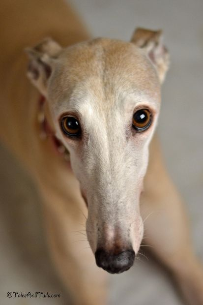 As Bunny ages, I'm starting to feel a little like she's the Velveteen Greyhound.