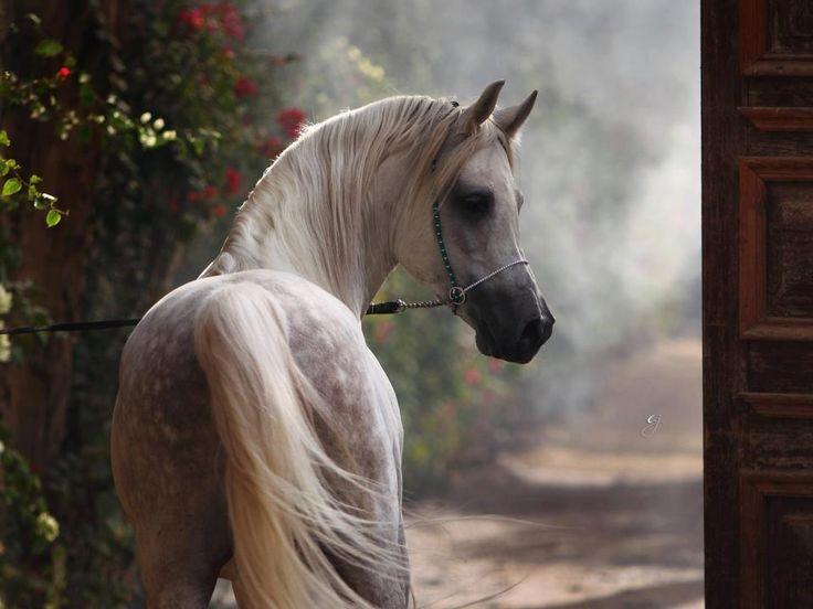 Belleza árabe - I - http://www.elmundodelcaballo.com/caballos/fotos-y-videos/belleza-arabe-i/