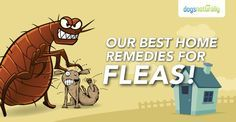 Our best home remedies for fleas. Kick those harmful and expensive flea meds to the curb and protect your dog with these inexpensive, healthy options.