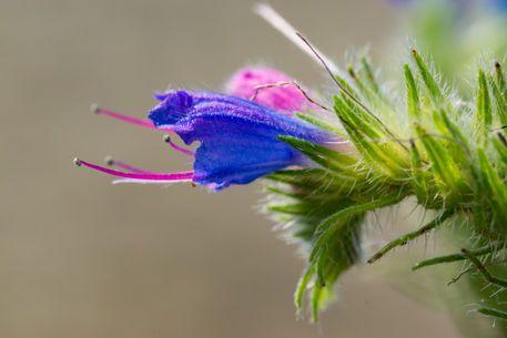 'Die Blüte des Blauen Natternkopf' von Ronald Nickel bei artflakes.com als Poster oder Kunstdruck $6.48