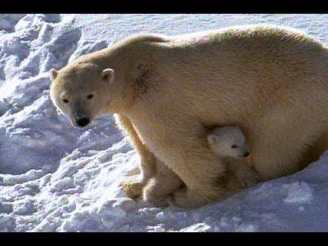 Amazing Animals. Canal de Youtube de NATIONAL GEOGRAPHIC. Una selecció dels vídeos d´animals més espectaculars. Polar Bear Mom and Cubs