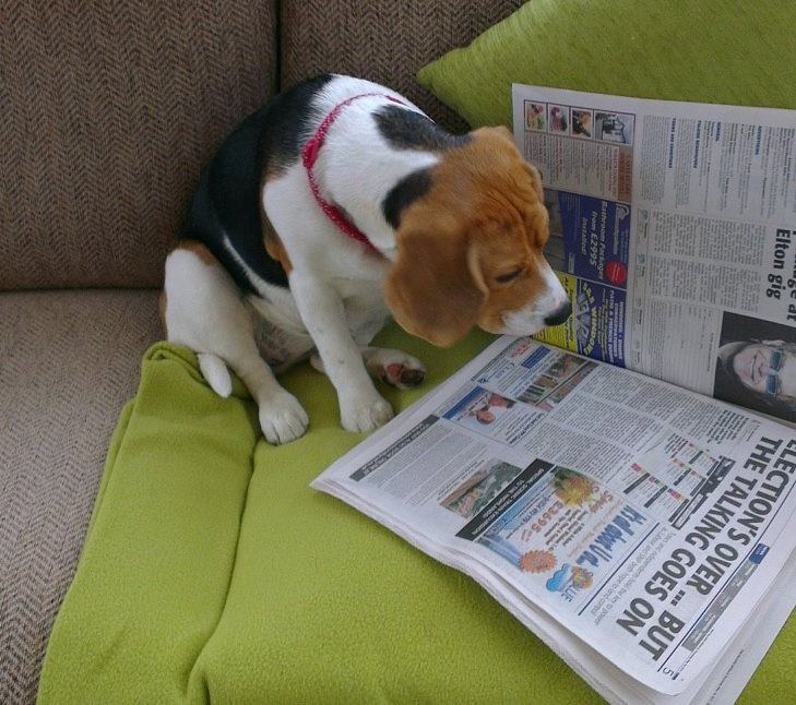 Catching Up On Current Events Beagle Puppy Beagle Dog Cute Dog Pictures