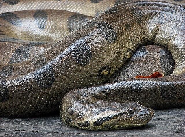 Sucuri snake also very known as the anaconda is the largest snake in this Brazilian fauna. Amazon Forest - Brazil.  _  cobra sucuri também muito conhecida pelo nome de anaconda, é a maior cobra presente na fauna brasileira. Floresta Amazônica - Brasil.