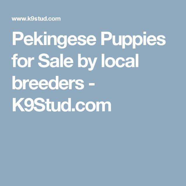 Pekingese Puppies for Sale by local breeders - K9Stud.com