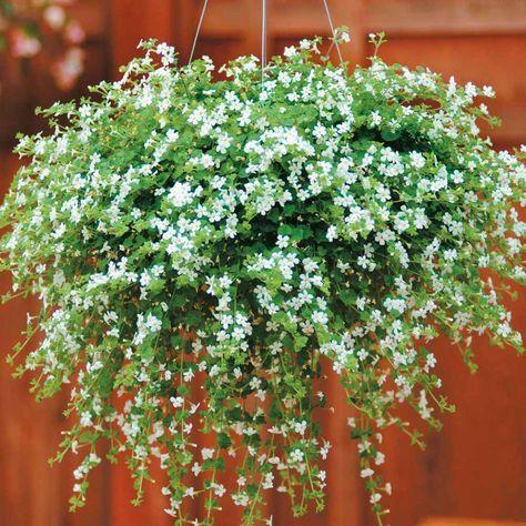 Best Flowers For Hanging Baskets   Bacopa 'Snowtopia' - Hanging Basket Plants - Van Meuwen