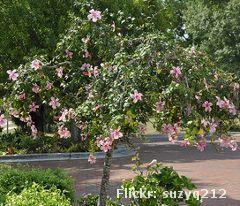 Hibisco sinensis (Hibiscus rosa sinensis) | Arbusto de alto porte, pode atingir até 3,50m.  Tem uma forma mais ovalada e se podado nos ramos inferiores, pode servir como árvore de pequeno porte.