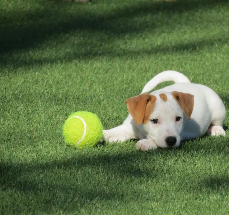 Canil Hunter Dream - Jack Russell Terrier