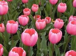 Idea: pink and white flower garden
