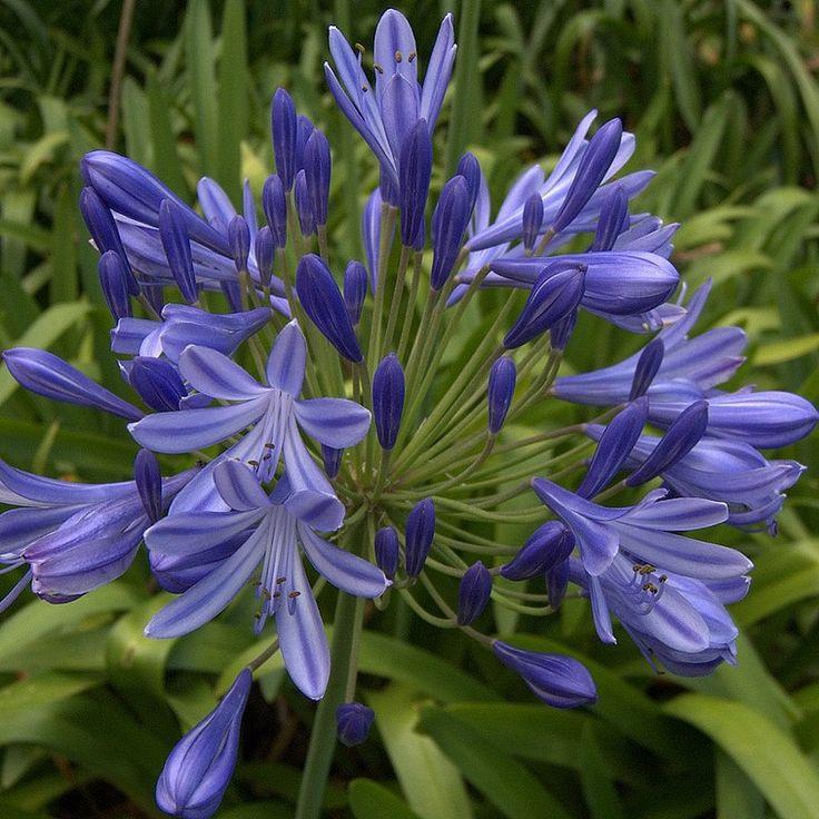 Agapanthus umbellatus 'Blue' - Agapanthe bleue d'Afrique