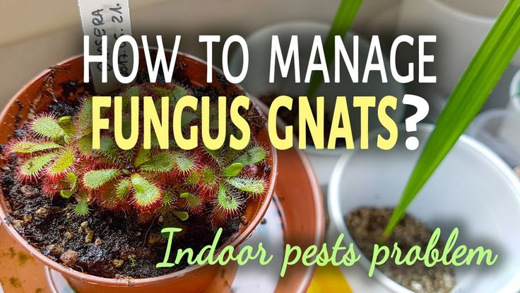 How To Manage Fungus Gnats Indoors | 3 Ways To Get Rid Of Fungus Gnats
