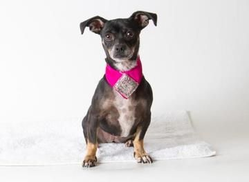 Check out Lucy's profile on AllPaws.com and help her get adopted! Lucy is an adorable Dog that needs a new home. https://www.allpaws.com/adopt-a-dog/chihuahua/6652198?social_ref=pinterest