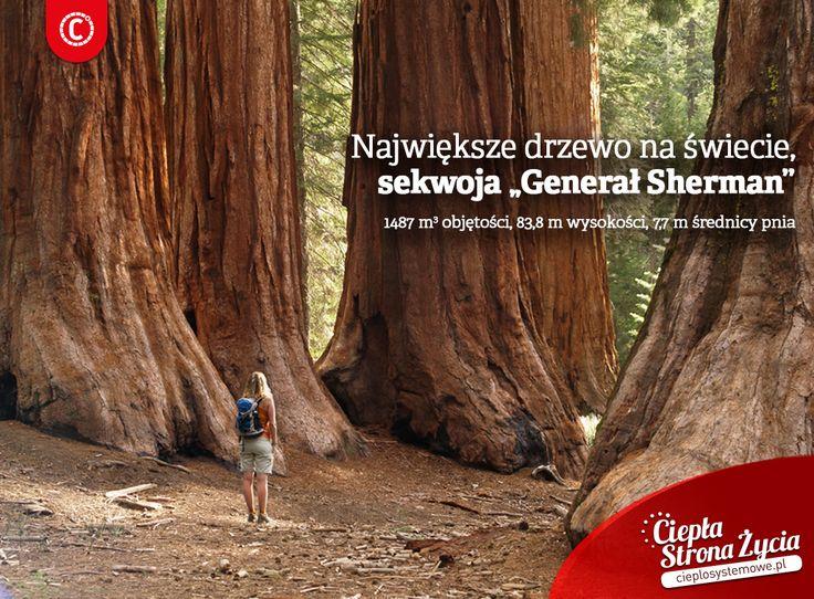 Sekwoje olbrzymie zwane też mamutowcami olbrzymimi, uznawane są za najwyższe drzewa na świecie. Można je podziwiać m.in. w Parku Narodowym Sekwoi w górach Sierra Nevada w USA, gdzie są pod ochroną. Dzisiaj obchodzimy Światowy Dzień Drzewa, więc równie ogromnie namawiamy, żeby chronić wszystkie drzewa - nie tylko te największe i nie tylko w czasie Światowego Dnia Drzewa. Jesteście za - przepinajcie #ekologia