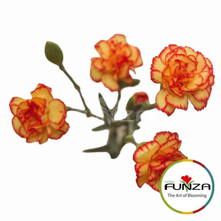 Bicolor Yellow Spray Carnation from Flores Funza. Variety: Carimbo. Availability: Year-round.