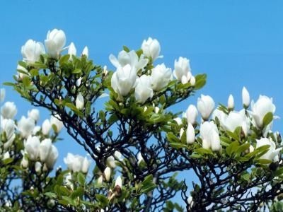 Southern Magnolia Tree....not great picture, does not show their sheer size and glossy leaves.