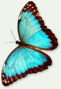 Blue Morpho butterfly (Morpho menelaus). This brilliant blue butterfly can be found in the rain forests of South America (Brazil & Guyana).