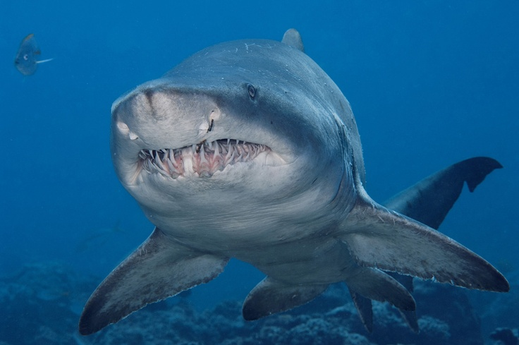 sand tiger shark sharks pinterest
