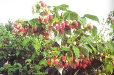 Выращивание малины. Практические советы. | Дачный сад и огород