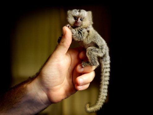 Full grown finger monkey... I totally want one of these!! It can ride my mastiff!