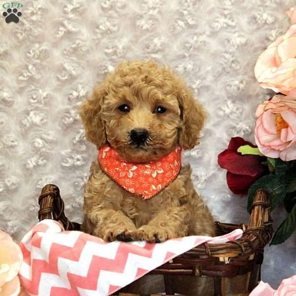 Sophie Miniature Poodle Puppy For Sale In Pennsylvania Poodle