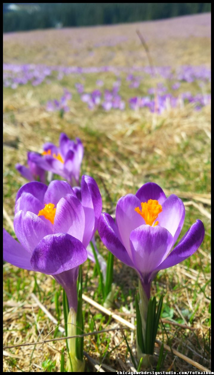 krokusy wiosną w Tatrach na Polanie Chochołowskiej