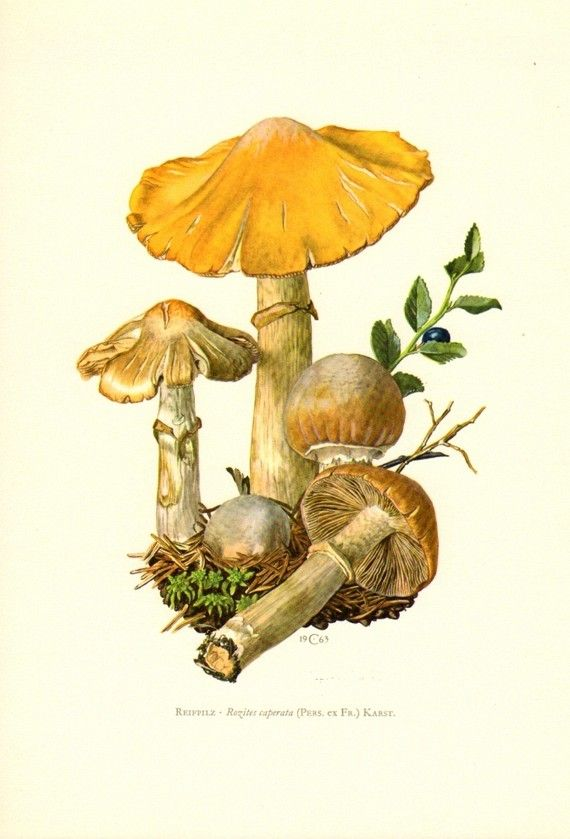 Mushrooms - gypsy mushroom rosites caperata, original vintage lithograph, 1963