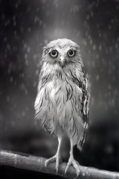 oh little Owl Standing in Rain… oh gosh. is this little owl real? i cannot tell if is.  it hurt to see this darling wet owl. i want to take care of it