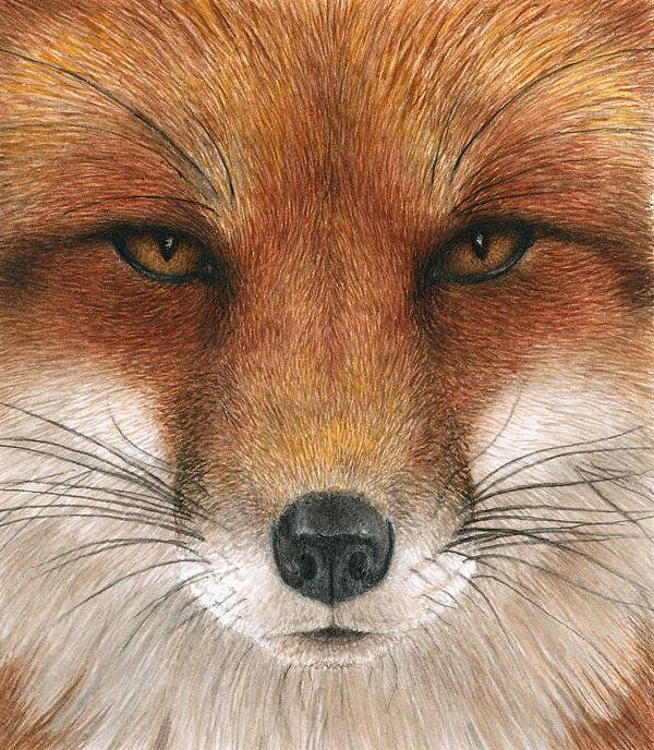 Red Fox Gaze Print By Pat Erickson