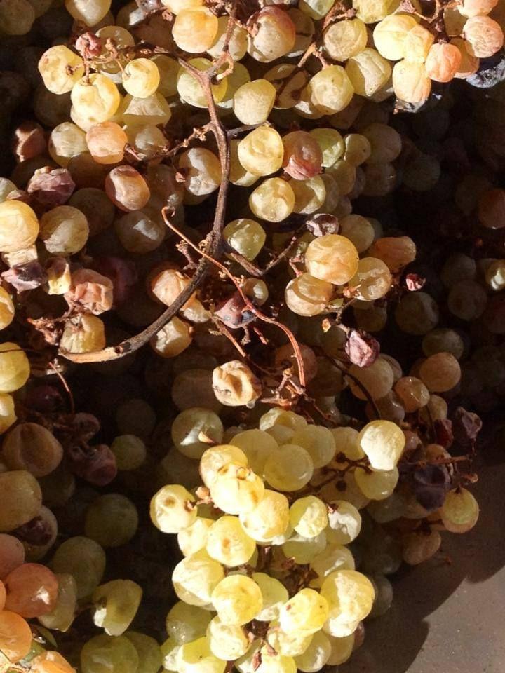 Dried Garganega Grapes for Recioto di Soave Production Italian Wine Veneto Style Monteforte Verona Italy Tessari #tessariwithdots