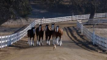 A curious puppy at an adoption center makes friends with a Clydesdale -- until one day, it is taken away to its new home. What happens next in this Super Bowl 2014 commercial may just melt your heart.- iSpot.tv