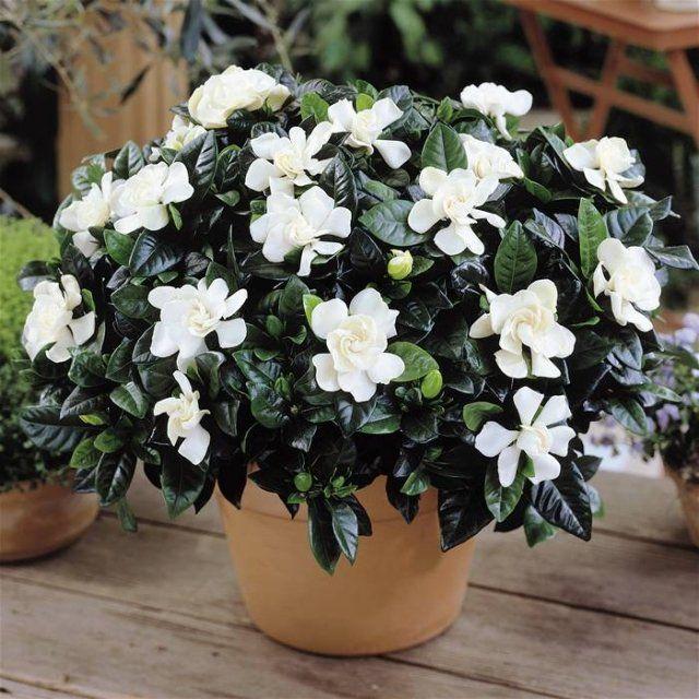 gardenien weiß bluhende zimmerpflanzen arten topf zuhause